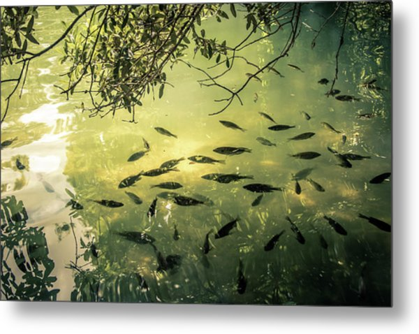 Golden Pond With Fish Metal Print