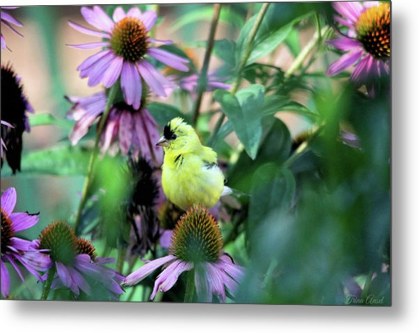 Goldfinch On Coneflowers Metal Print