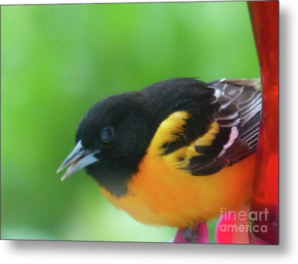 Good Morning Mr. Oriole Metal Print