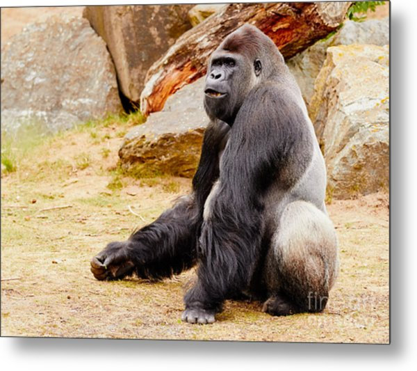 Gorilla Sitting Upright Metal Print