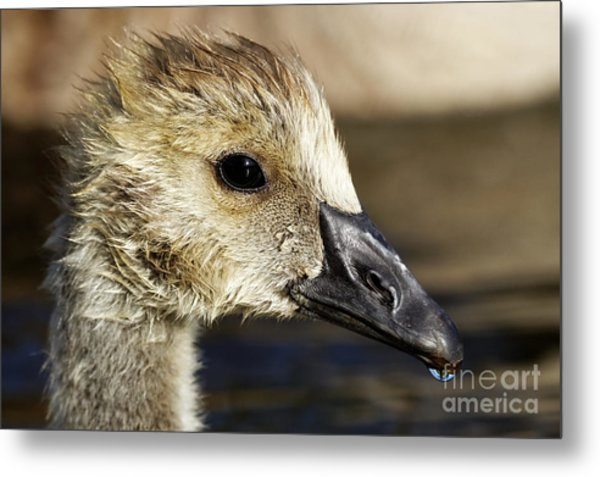 Metal Print featuring the photograph Gosling - Growing Up by Sue Harper