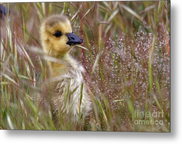 Gosling In The Meadow Metal Print