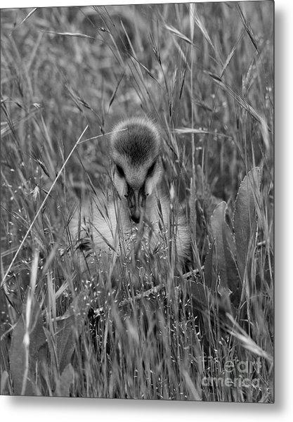 Metal Print featuring the photograph Gosling Serenity by Sue Harper