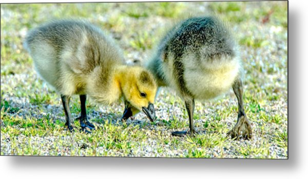 Goslings Snacking Metal Print