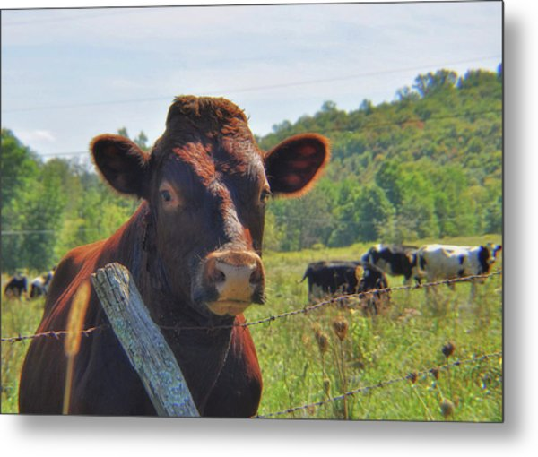 Got Milk Herd Metal Print by JAMART Photography