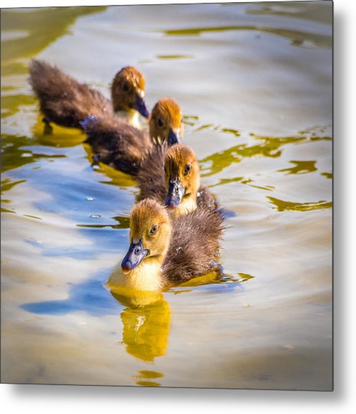 Got My Ducks In A Row Metal Print