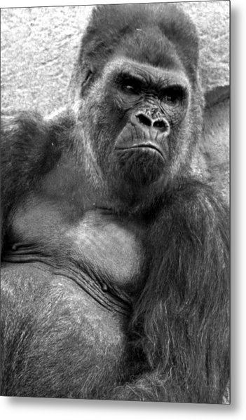 Gq Silverback Gorilla Metal Print