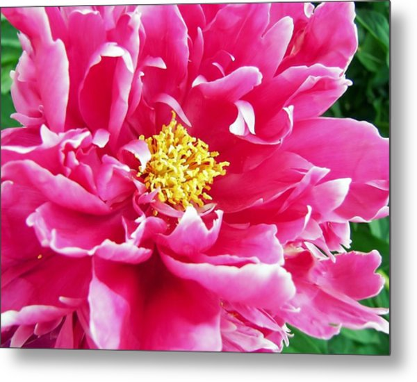 Gram's Peony Metal Print by JAMART Photography