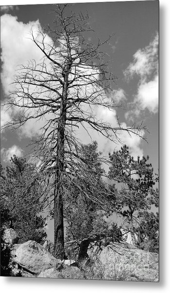 Grandfather Tree Metal Print
