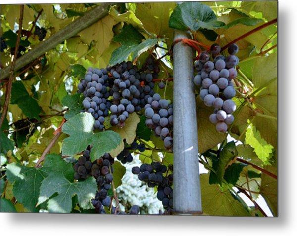 Grape Arbor 1 Metal Print