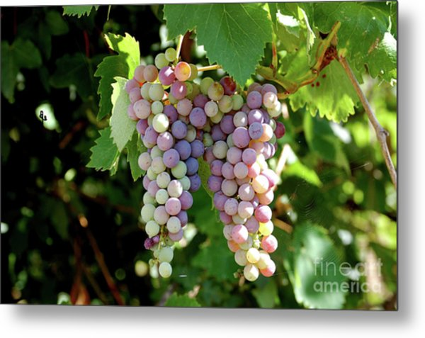 Grapes In Color  Metal Print