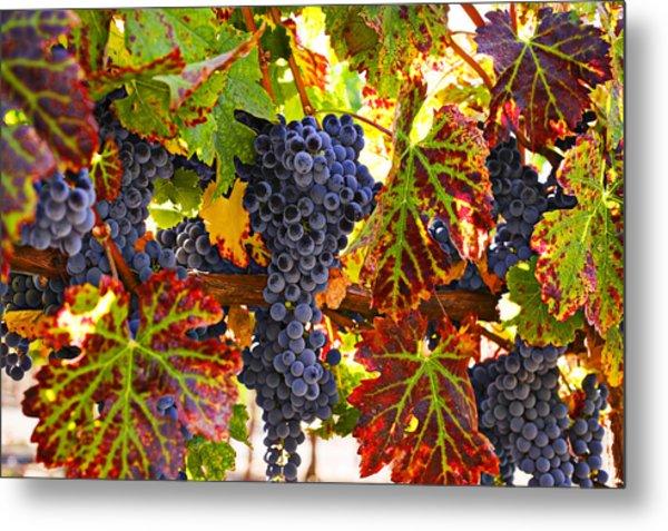 Grapes On Vine In Vineyards Metal Print