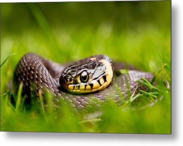 Grass Snake - Natrix Natrix Metal Print