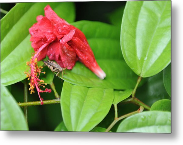 Grasshopper And Hibiscus Metal Print by Jessica Rose
