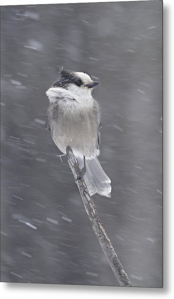 Gray Jay Metal Print by Philippe Francis