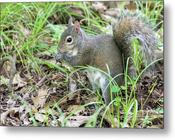 Gray Squirrel Eating Metal Print