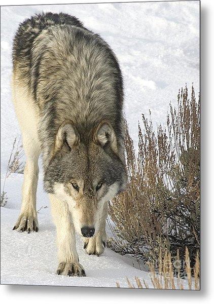 Gray Wolf Metal Print