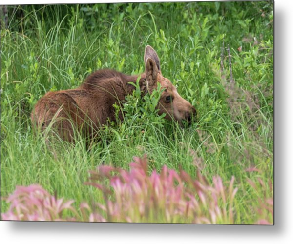 Grazing Baby Moose Metal Print