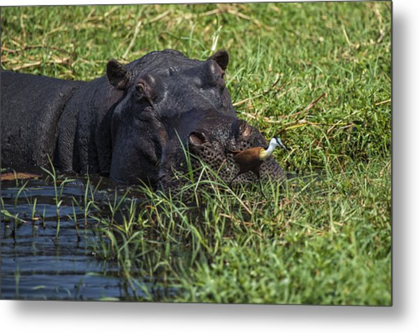 The Hippo And The Jacana Bird Metal Print