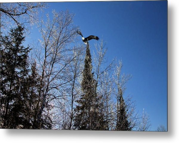 Great American Bald Eagle And Ice Metal Print by Gary Smith