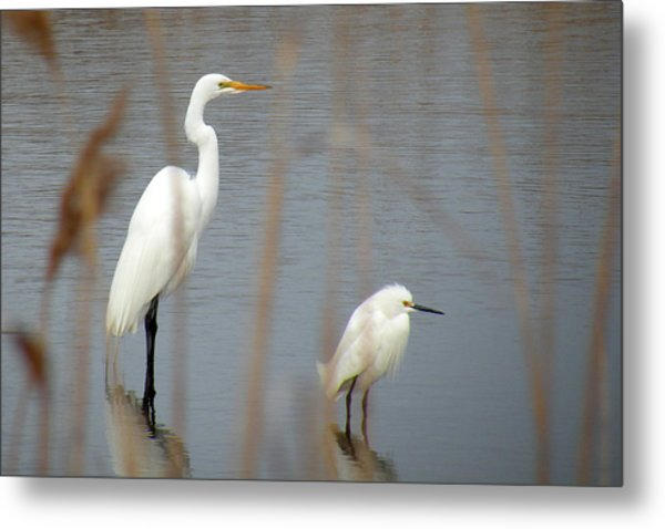 Great And Snowy Egret Metal Print by Donald Cameron