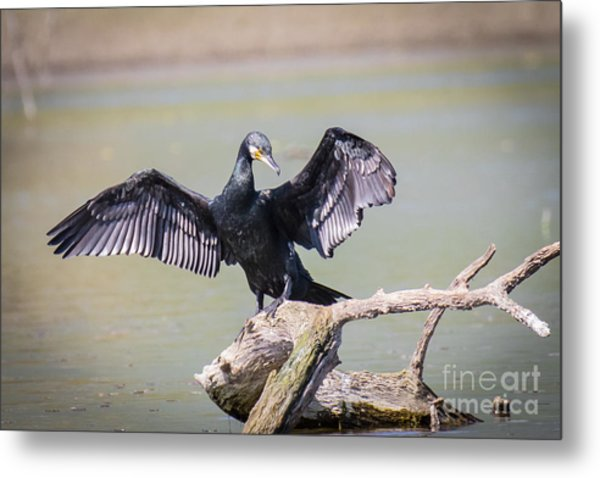 Great Black Cormorant Drying Wings After Fishing Metal Print