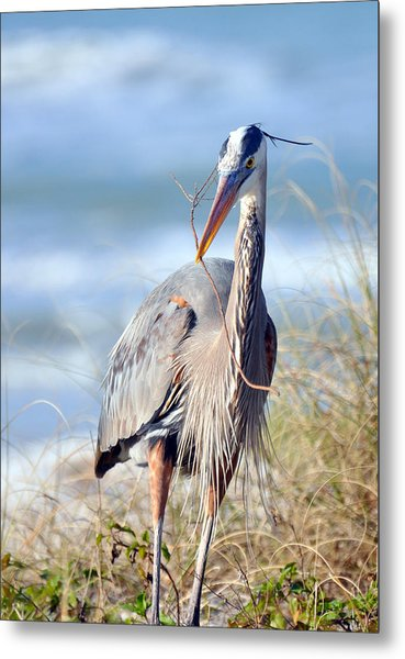Great Blue Heron - Nesting Metal Print