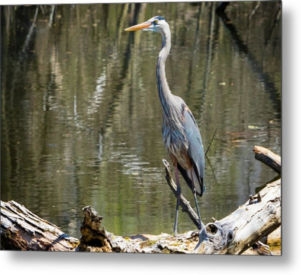 Metal Print featuring the photograph Great Blue Heron At Johnson Park by Ricky L Jones