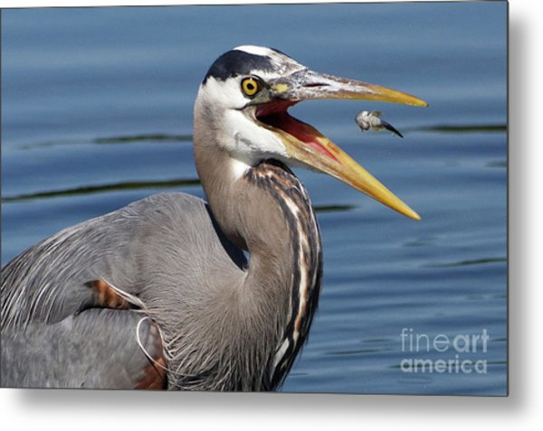 Great Blue Heron Feast Metal Print