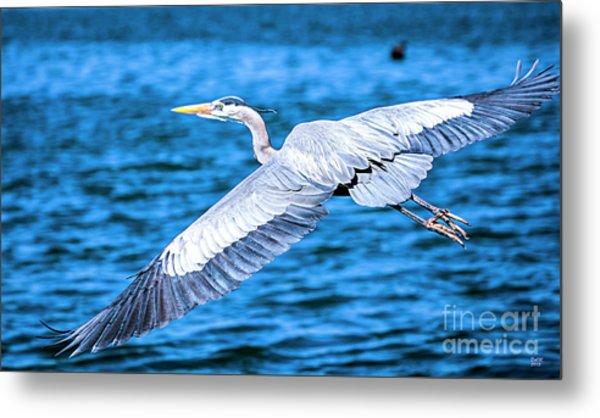 Great Blue Heron Flight Metal Print