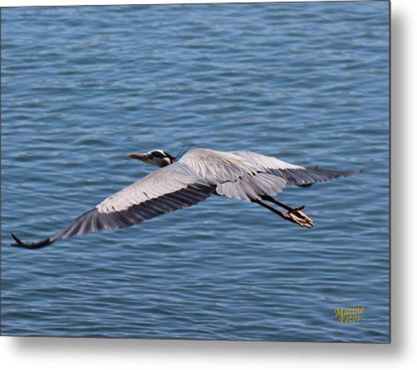 Great Blue Heron Flying Over Morro Bay Metal Print