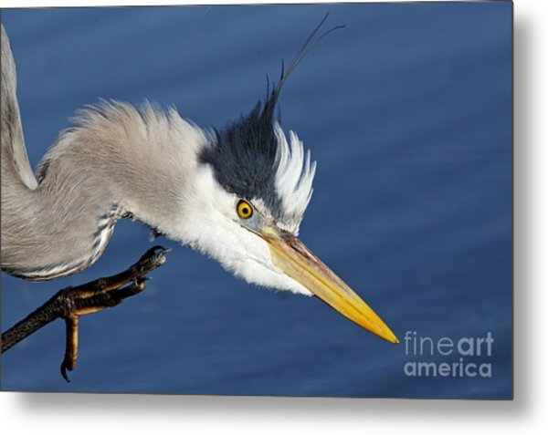 Great Blue Heron - Good Scratch Metal Print