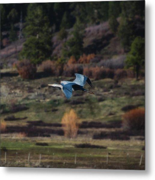 Great Blue Heron In Flight II Metal Print