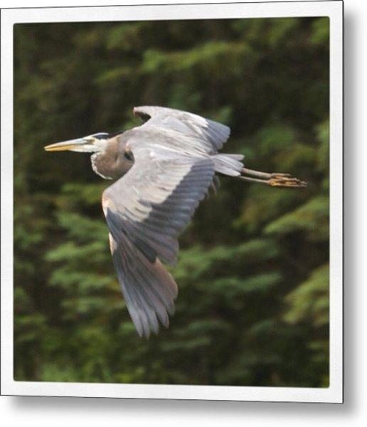 Great Blue Heron In Flight. They Look Metal Print