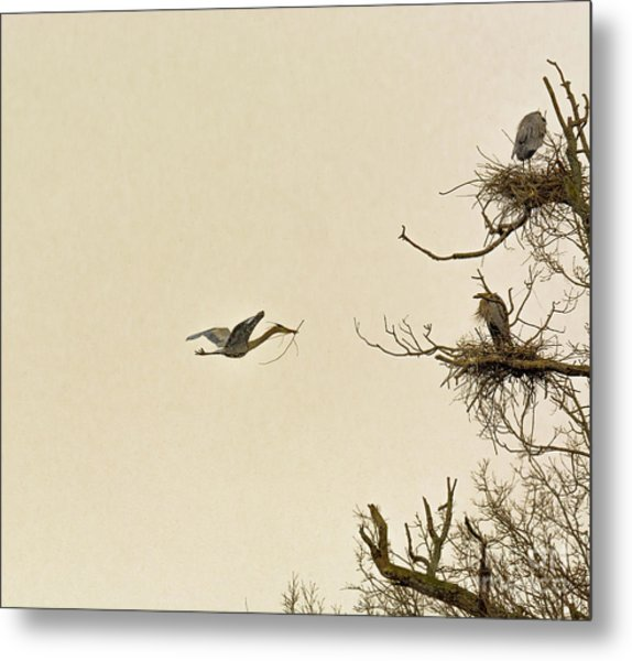 Great Blue Heron Nest Building Metal Print