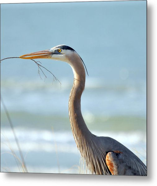 Great Blue Heron Nesting Metal Print