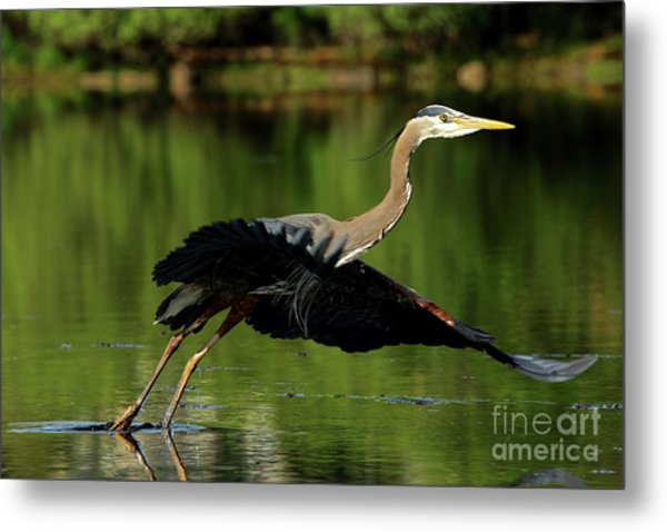 Great Blue Heron - Over Green Waters Metal Print
