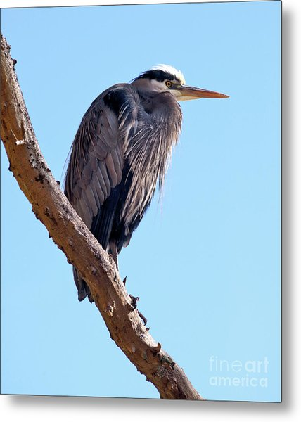 Great Blue Heron Perched On Tree Branch Metal Print by Terry Elniski