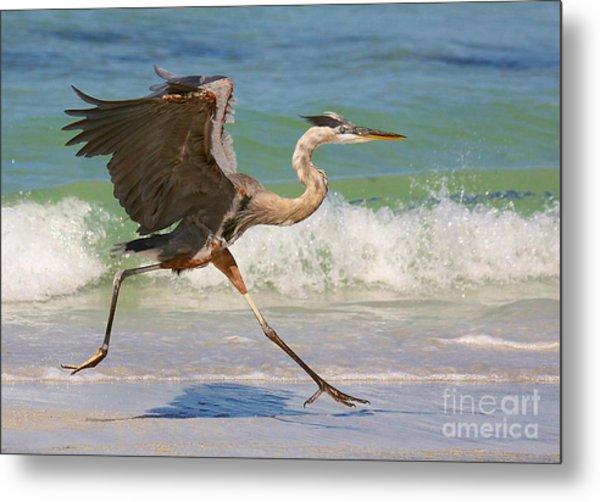Great Blue Heron Running In The Surf Metal Print