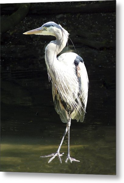 Great Blue Heron Standing Profile Metal Print