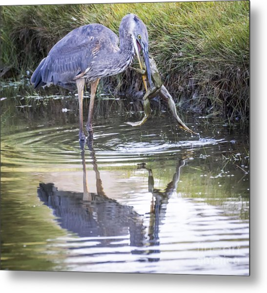 Great Blue Heron Vs Huge Frog Metal Print