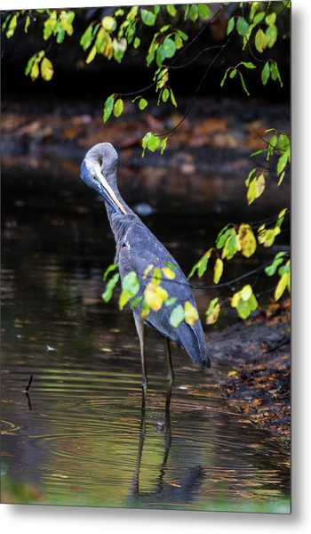 Great Blue Heron With An Itch Metal Print