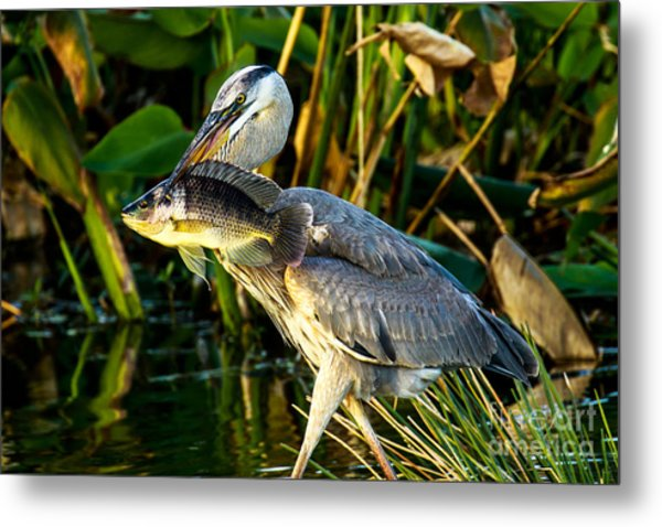 Great Blue Heron With Fish Metal Print