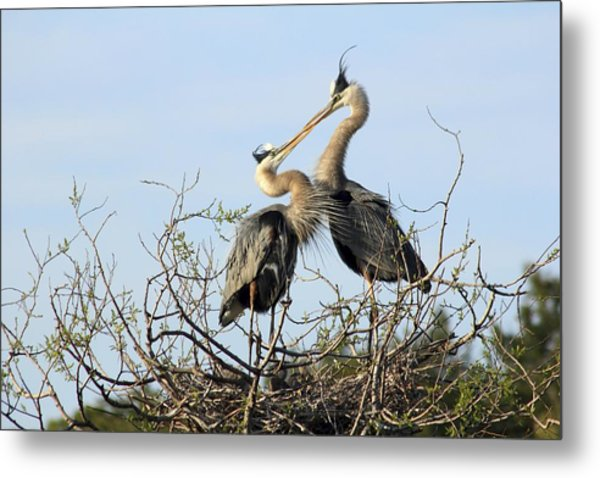 Great-blue Herons On Nest At The Venice Rookery, Florida Metal Print