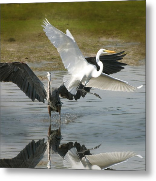 Great Blue Vs. Great White Egret Metal Print
