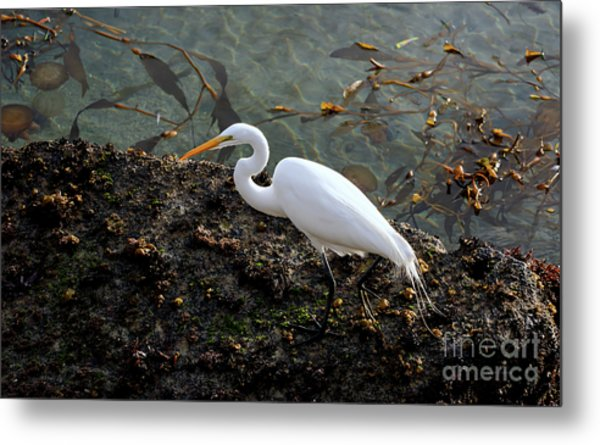 Great Egret At A Low Tide Metal Print