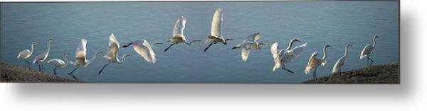 Great Egret Flight Sequence Metal Print