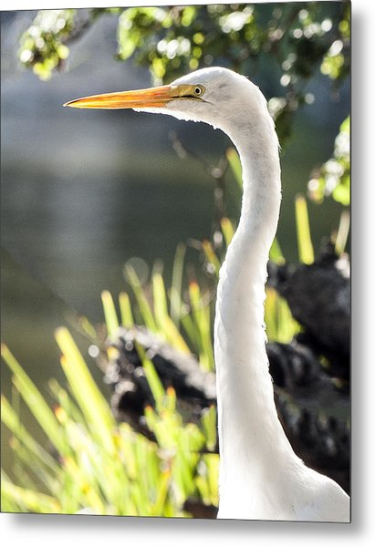 Great Egret Headshot Profile  Metal Print