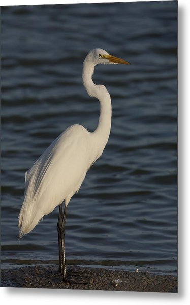 Great Egret In The Last Light Of The Day Metal Print