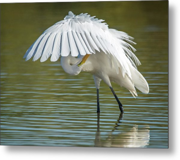 Great Egret Preening 8821-102317-2 Metal Print
